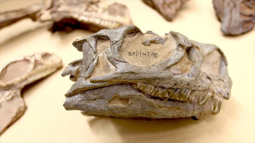 Arqueólogos hallan por casualidad nueva especie de dinosaurio | HISPANTV