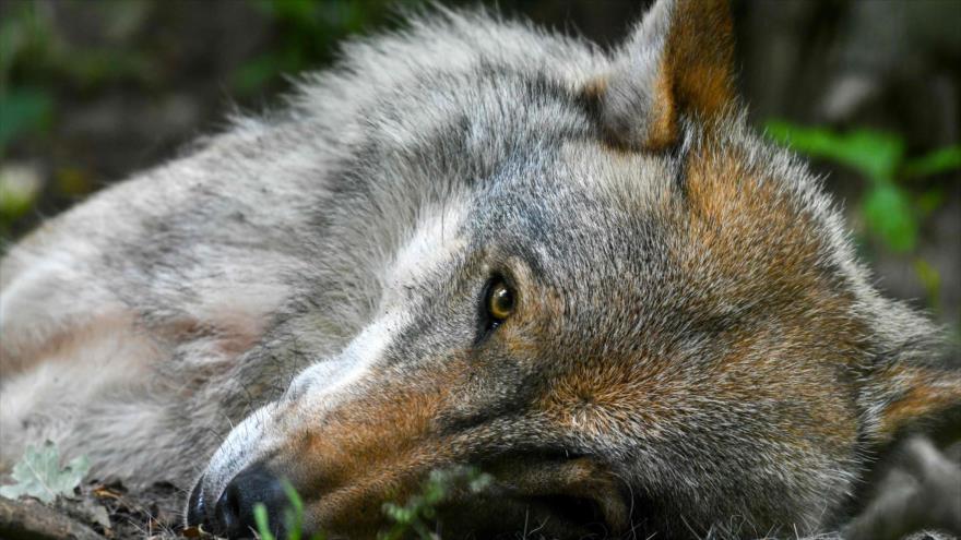 Foto de un lobo capturada en un recinto protegido, Verden an der Aller, norte de Alemania, 27 de junio de 2019. (Foto: AFP)