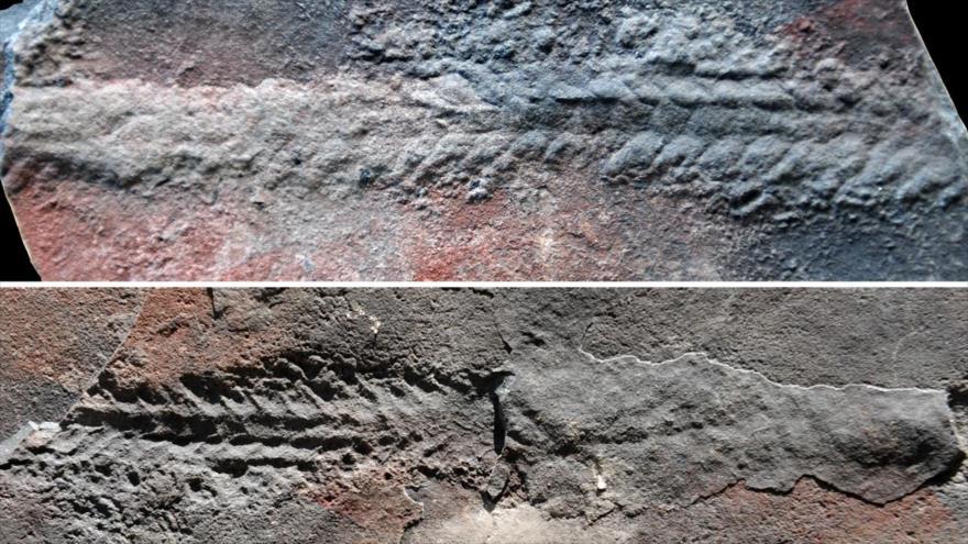 Fósil antiguo muestra cómo los animales comenzaron a moverse | HISPANTV