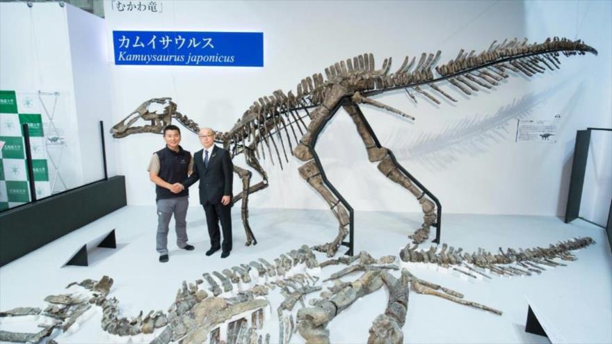 """El esqueleto reconstruido de una nueva especie de dinosaurio, nombrado """"Kamuysaurus japonicus"""", en Japón."""