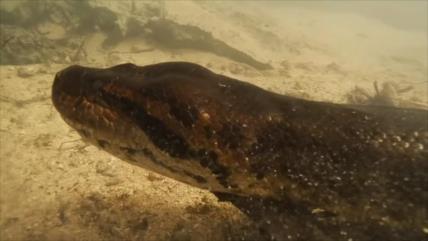 No podrá creer el 'cara a cara' de dos buzos y una anaconda de 7 m