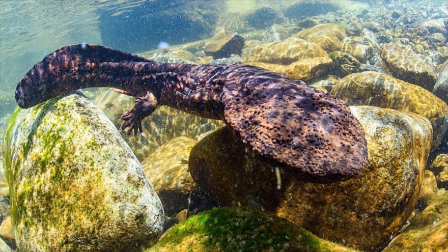 La salamandra gigante China es ahora considerada el anfibio más grande del mundo.