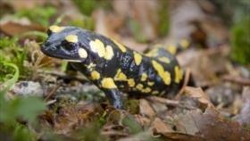 Descubren que humanos pueden regenerar tejidos como salamandras