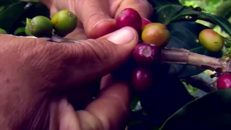 Nicaragua reporta crecimiento en sus exportaciones de café