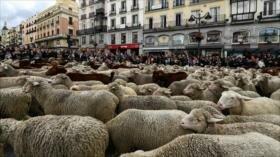 Miles de ovejas toman calles de Madrid en Fiesta de Trashumancia
