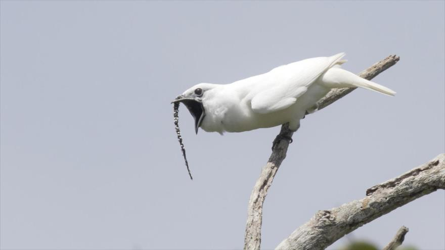 ¿Sabía? Canto de seducción de pájaro puede dañar oído de su pareja