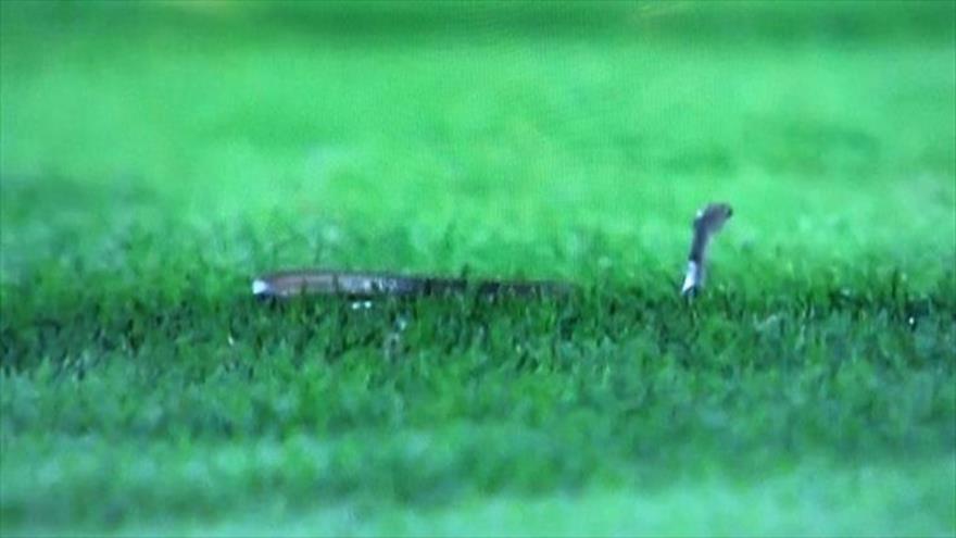 Vídeo: Una serpiente invade un campo de fútbol en Arabia Saudí