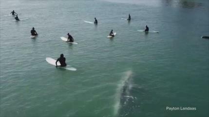 Vídeo: Enorme ballena sorprende a surfistas en costa de California