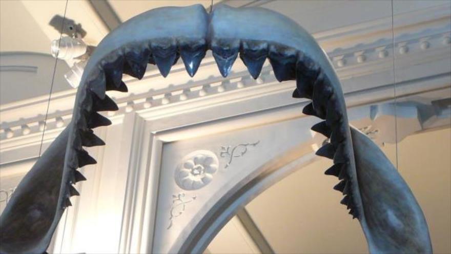 Un modelo del tiburón Megalodón en el museo de Historial Natural, Nueva York.