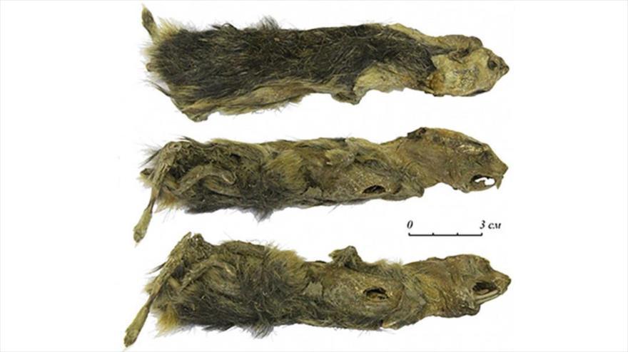 La momia de un lemino de la Edad de Hielo de hace 41 000 años encontrada por una niña en Siberia.