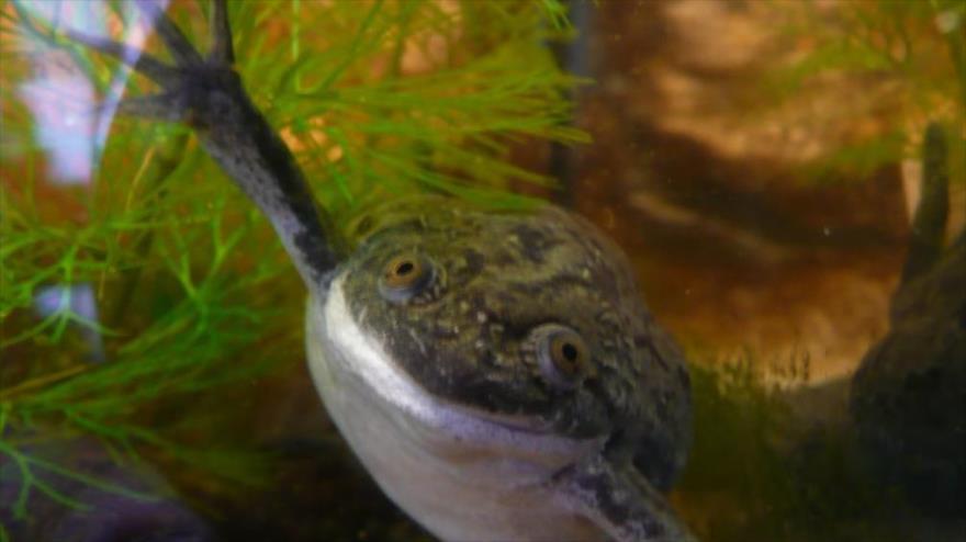 Crean los primeros organismos mitad ser vivo mitad máquina de células de ranas africanas.