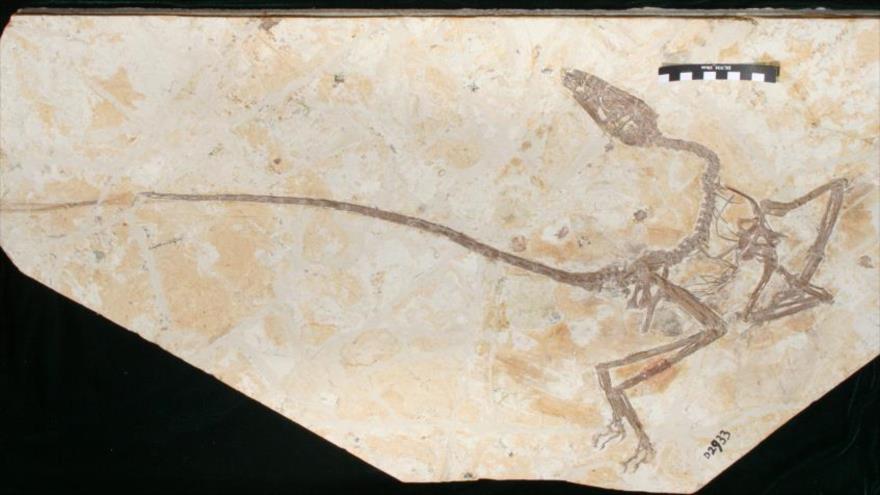 Fósil del Wulong bohaiensis, el género del nombre de dinosaurio que se traduce como 'dragón danzante', en Museo de Historia Natural de San Diego (EE.UU.)