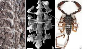 Hallan fósiles de escorpión que vivió hace 436 millones de años