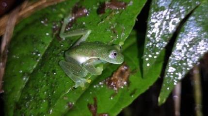 Localizan rana de cristal en Bolivia tras casi dos décadas