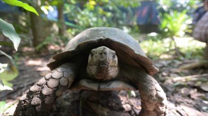 Descubren el fósil de una tortuga del tamaño de un auto