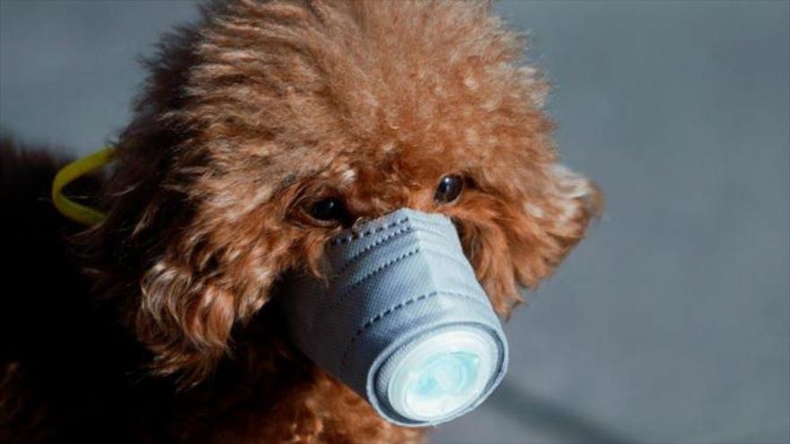 Detectan el primer perro que da positivo por coronavirus   HISPANTV