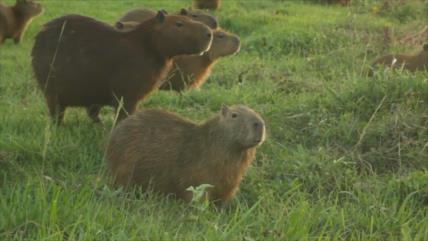 Capibaras toman un club de golf ante confinamiento de bolivianos