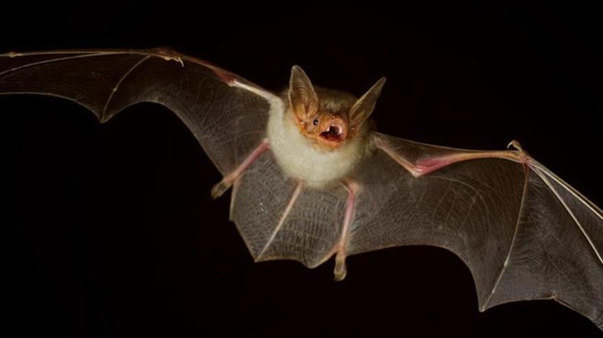 Científicos descubren seis nuevos coronavirus en murciélagos   HISPANTV