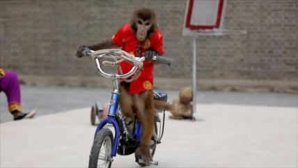 Vídeo: Mono en bicicleta intenta 'secuestrar' a una niña