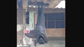 Vídeo: Se viralizan imágenes de un murciélago gigante en Filipinas