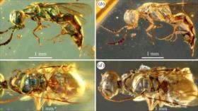 FOTOS: Vean colores reales de insectos de hace 99 millones de años