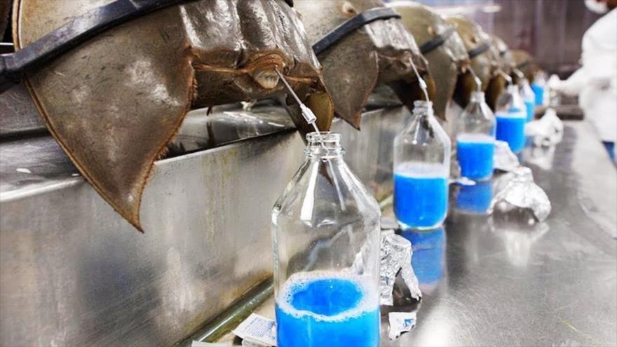 Cogen la sangre de color azul del cangrejo herradura en el Laboratorio Charles River en Charleston, Carolina del Sur (EE.UU.).