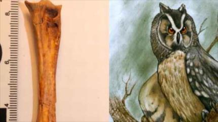 Hallan fósil de lechuza gigante en Ecuador que vivió hace 40 000 años