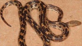 Descubren en Cuba nueva especie de serpiente no venenosa