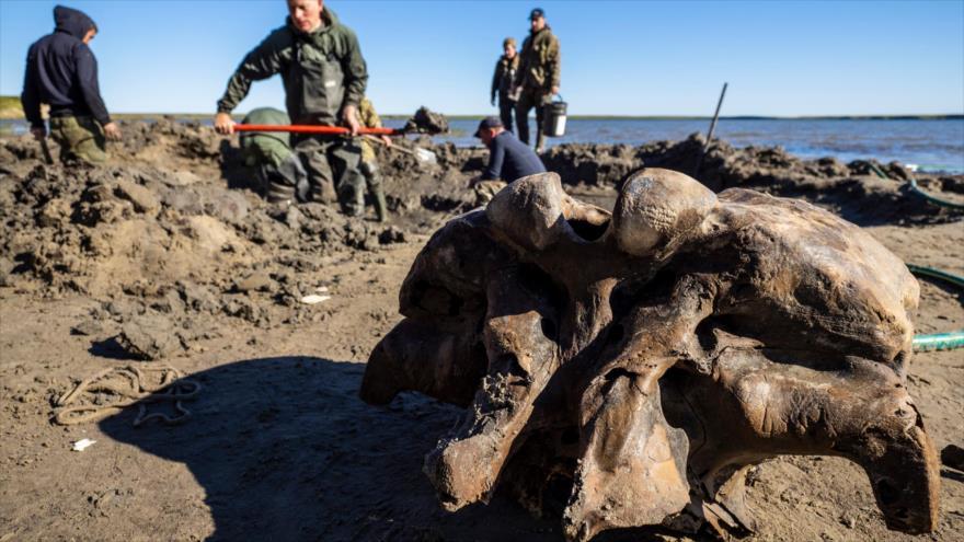 Hallan en el norte de Siberia los restos de un mamut que vivió al menos hace 10 mil años.