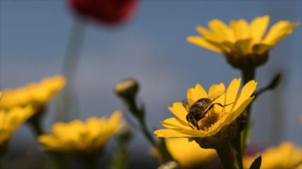Veneno de abeja puede matar en una hora células de cáncer de mama