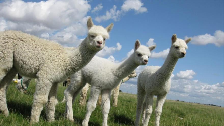 Científicos identifican en una alpaca un nanocuerpo que es capaz de impedir entrada de COVID-19 en células humanas.
