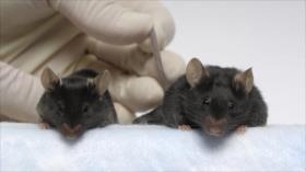 Ratones enviados al espacio vuelven con cuerpos de fisicoculturista