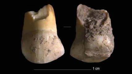 Hallan un diente de leche de 48 000 años de un niño neandertal