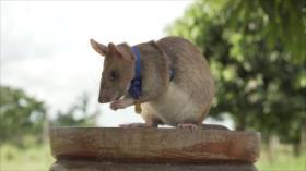 Condecoran con la medalla de oro a una rata por detectar minas