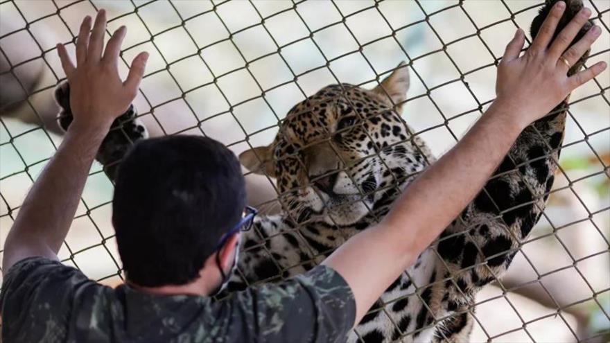 Así rescatan a jaguares afectados por incendios en Brasil