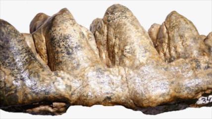 Hallan en Perú fósiles de mastodonte de unos 10 millones años