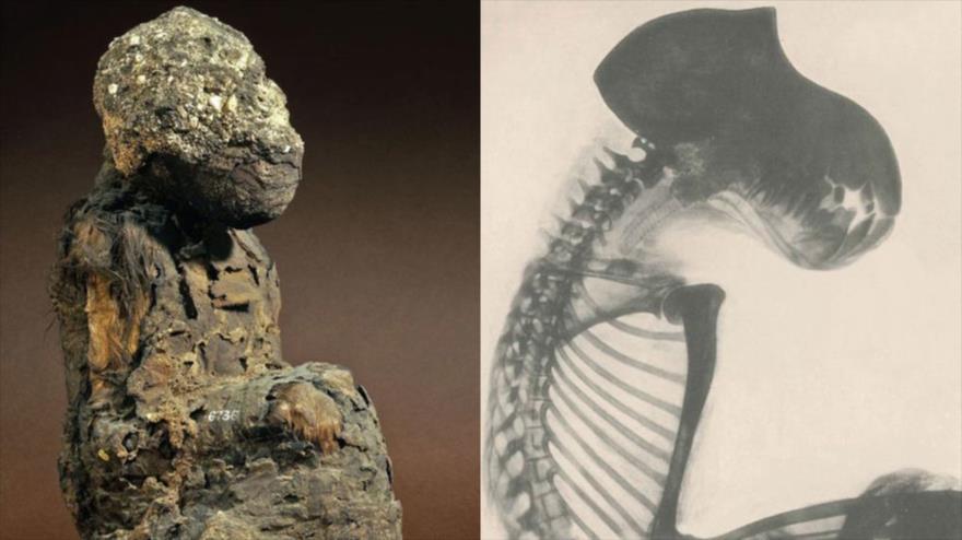 Un cráneo de babuinos momificados de 3300 años hallados en tumbas y templos egipcios.