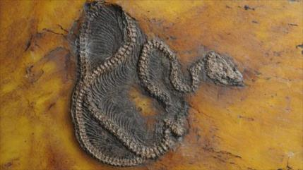 Foto: Descubren fósil de la pitón más antigua del mundo en Alemania