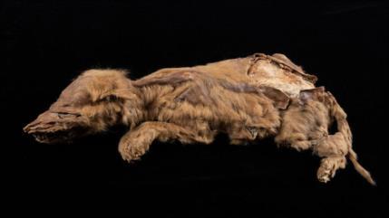 Fotos: descubren cachorro de lobo de 57 000años en Canadá