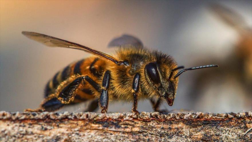 Abejas no solo producen miel; ¡ya pueden detectar el coronavirus!
