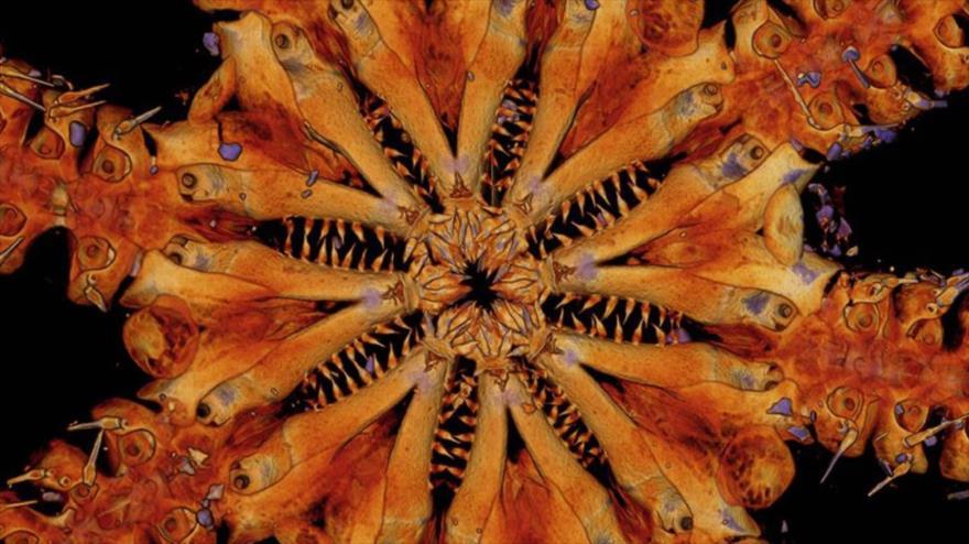 La reciente descubierta estrella de mar, bautizada Ophiojura. (Foto: Museums Victoria)