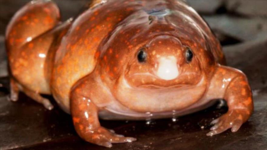 """Hallan en el Amazonas una especie de """"rana zombi""""."""