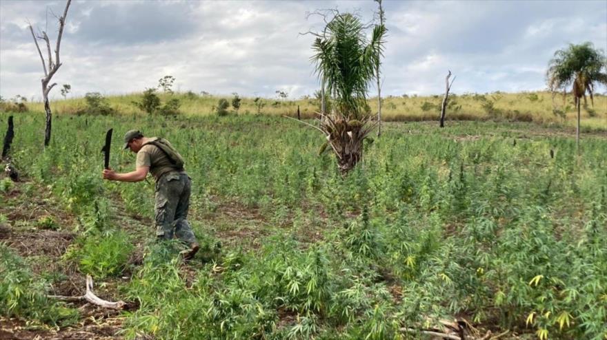 Paraguay y Brasil eliminan 800 toneladas de droga en el departamento oriental paraguayo de Amambay, julio de 2021.