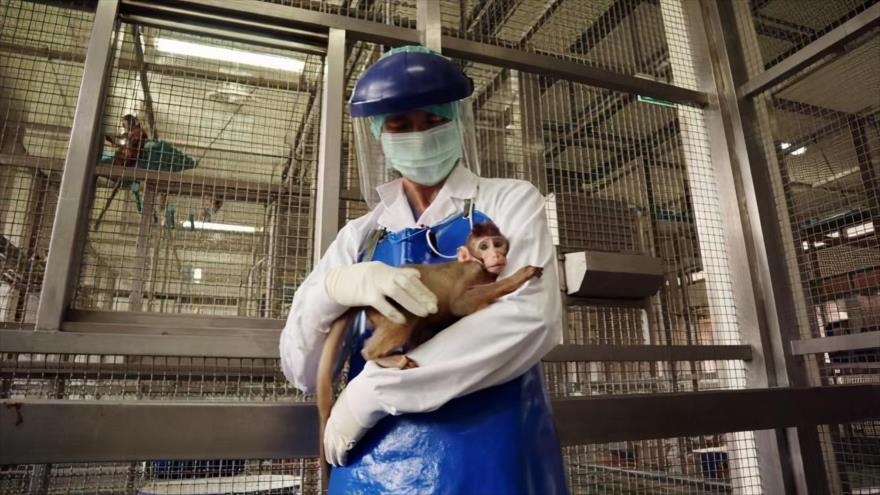 Un técnico de laboratorio sostiene entre sus manos a un primate en un centro de investigación.