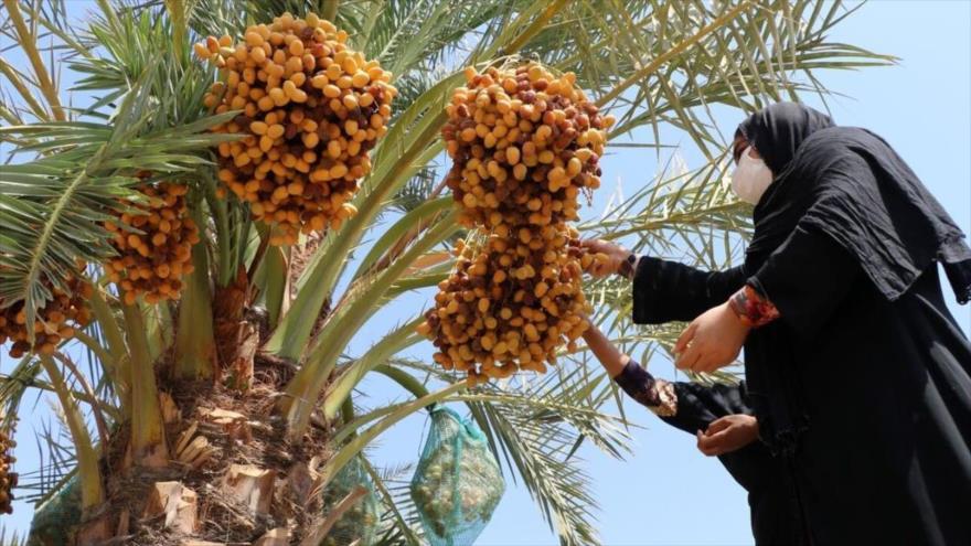 La cosecha de dátiles comenzó en Shushtar