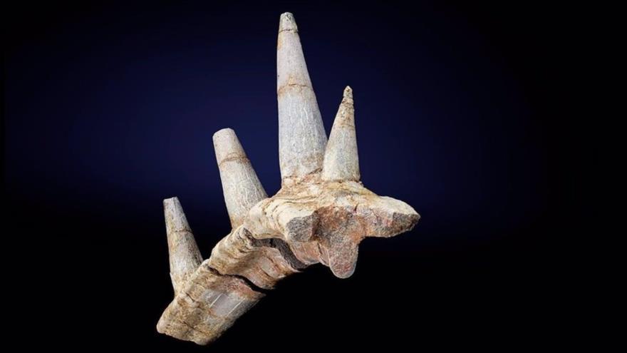 Un fosil descubierto en África que muestra una serie de picos fusionados a una costilla.