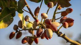 Vean el procesamiento de pistachos en Damqan en Irán