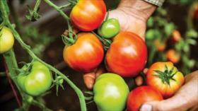 Japón produce tomates con genoma editado para tratar hipertensión