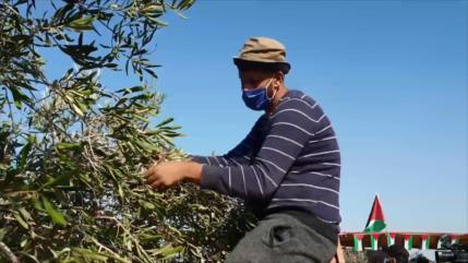 Colonos israelíes golpean los arboles de aceituna de los palestinos